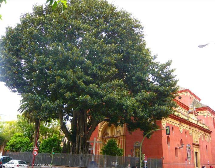 Ficus de San Jacinto
